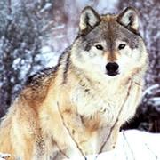 волк волкоff on My World.